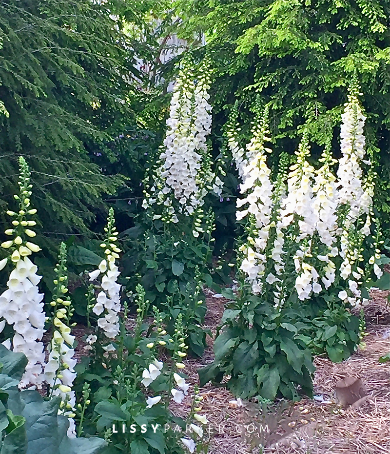 Large grouping of white foxglove