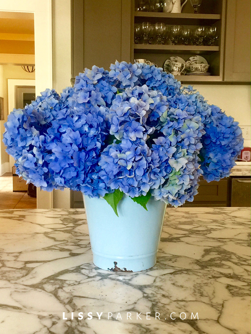 blue bucket full of blue hydrangea