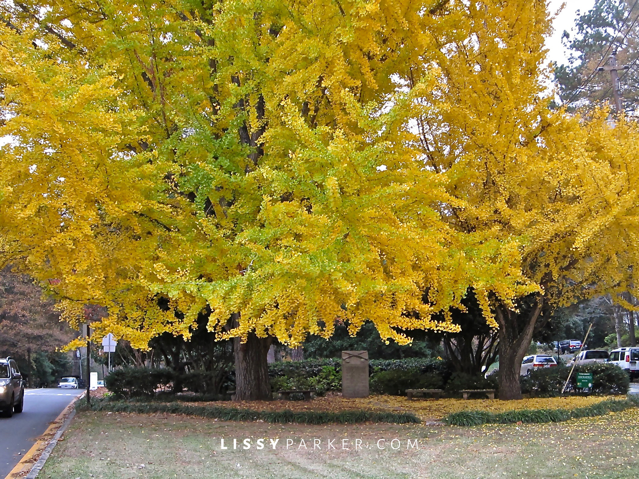 Fall leaves-ginko trees